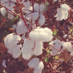 Making cotton a sustainable crop